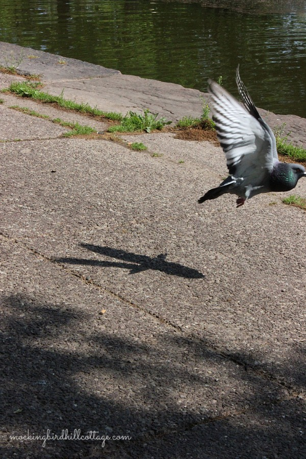 pigeonflying