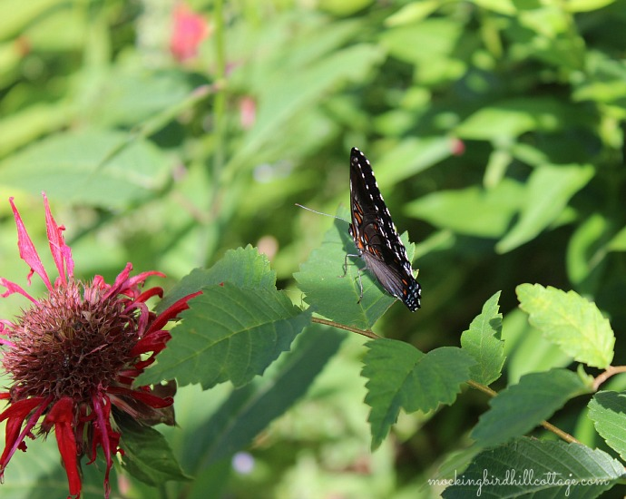 red-spotted purple3