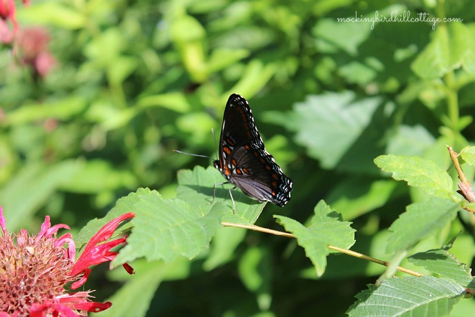 red-spotted purple4