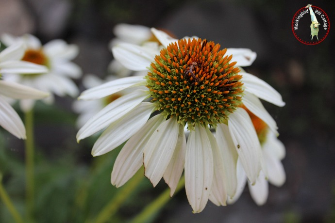 whiteconeflower