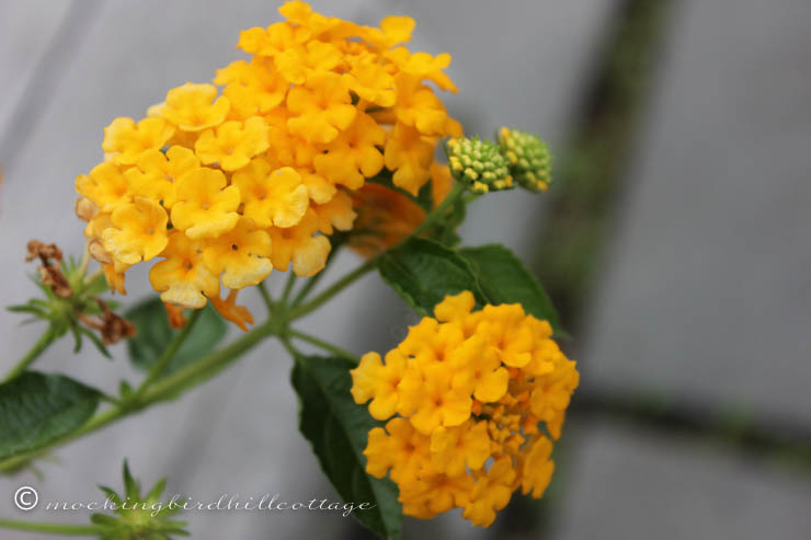 Sunday Cottage Lantana