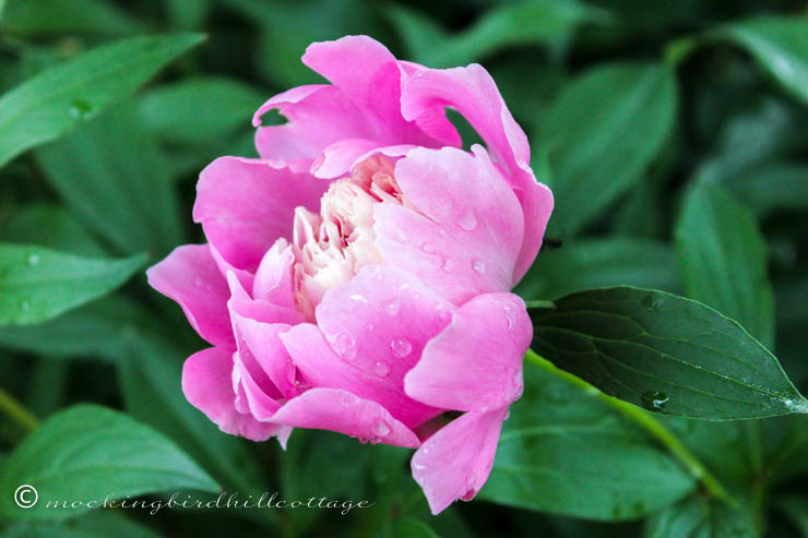 peony with water drops_