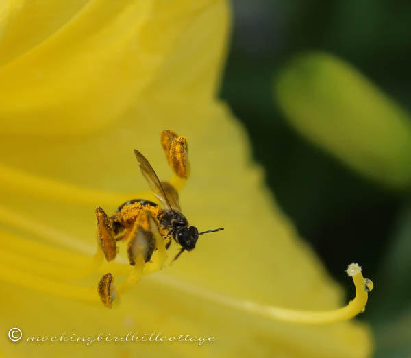 bee in day lily closest