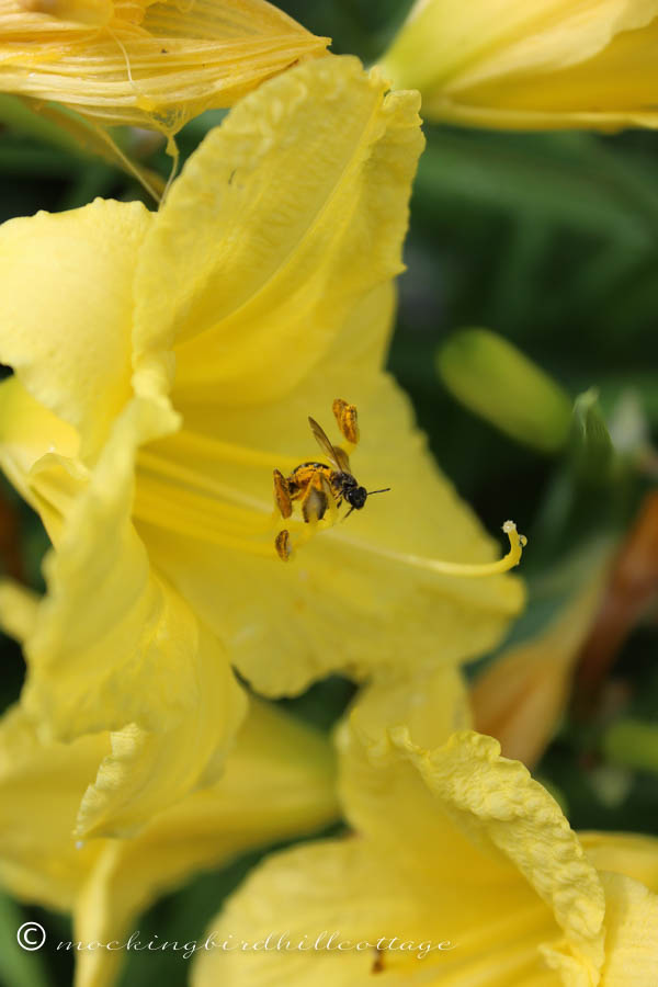 bee in day lily