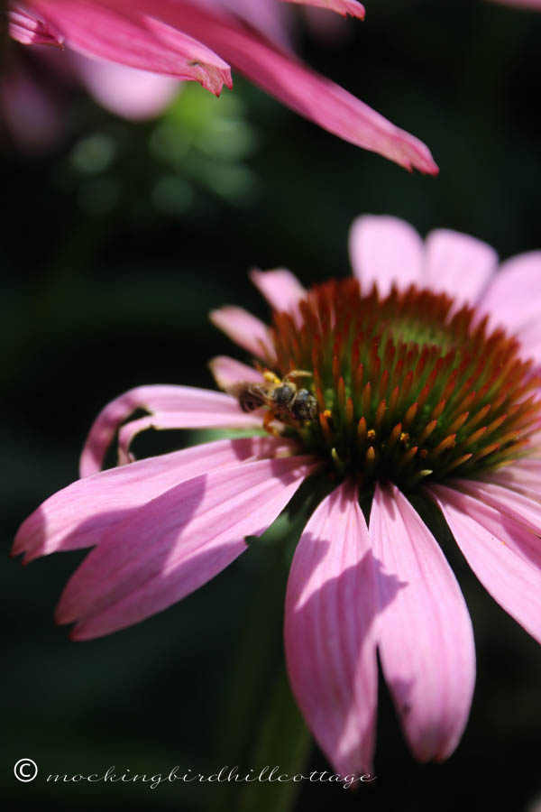 dramatic coneflower