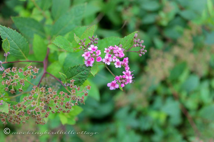 friday - spirea