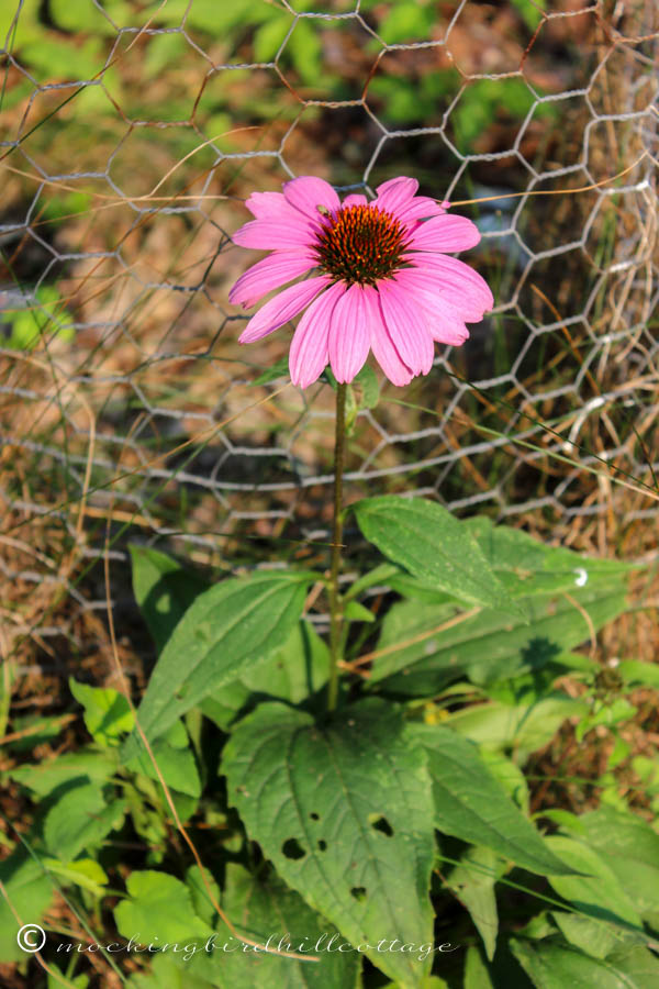 saturday - little coneflower