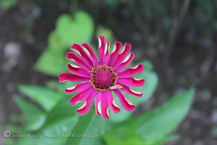 saturday - zinnia 2