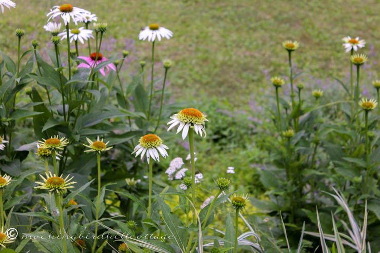 white coneflowers plus a purple one