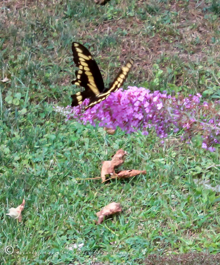 giantswallowtail 1
