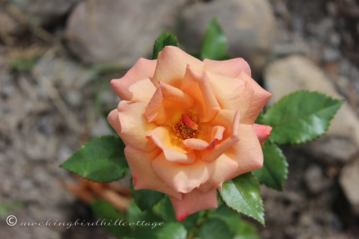 remembrance rose 2