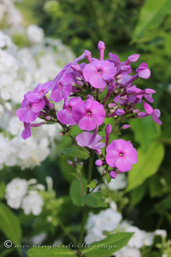 tuesday - purple phlox
