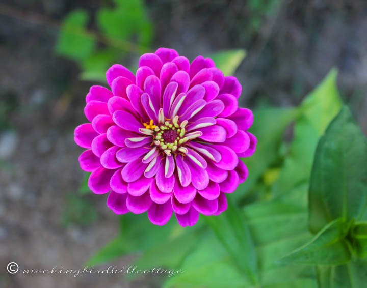 zinnia on sunday