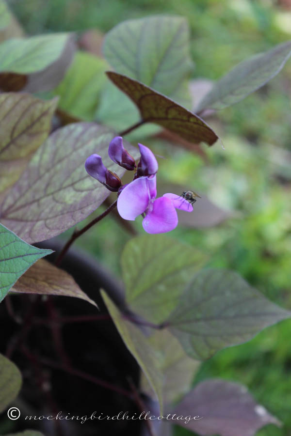 FRIDAY hyacinth bean vine