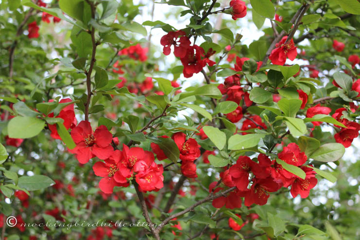 5-13 flowering quince 1