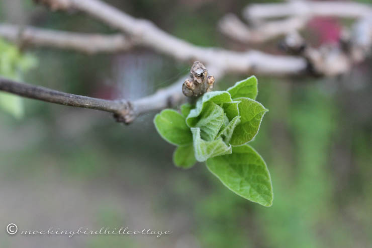 5-14 catalpa leaves