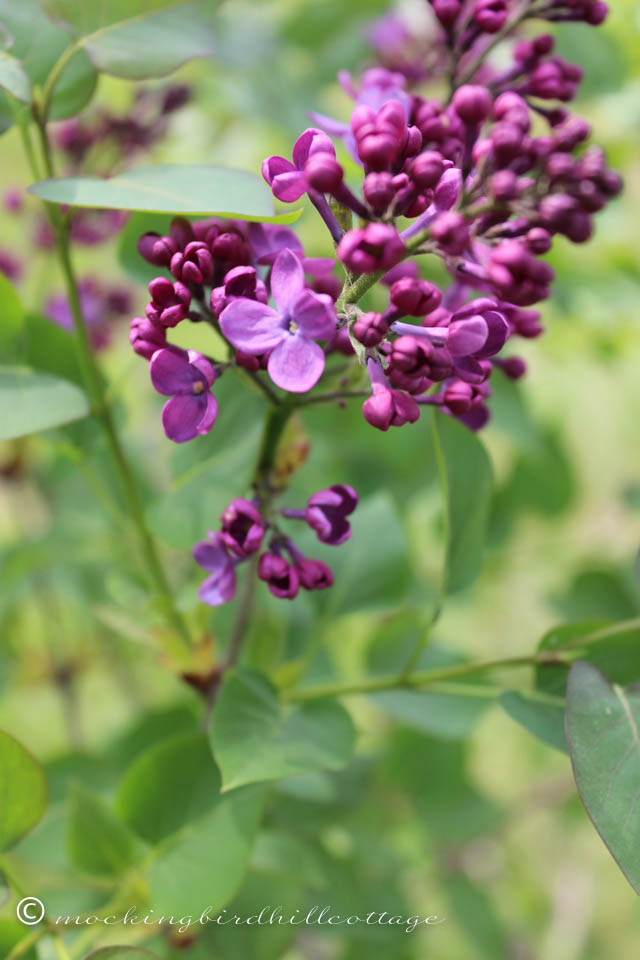 5-6 lilac two
