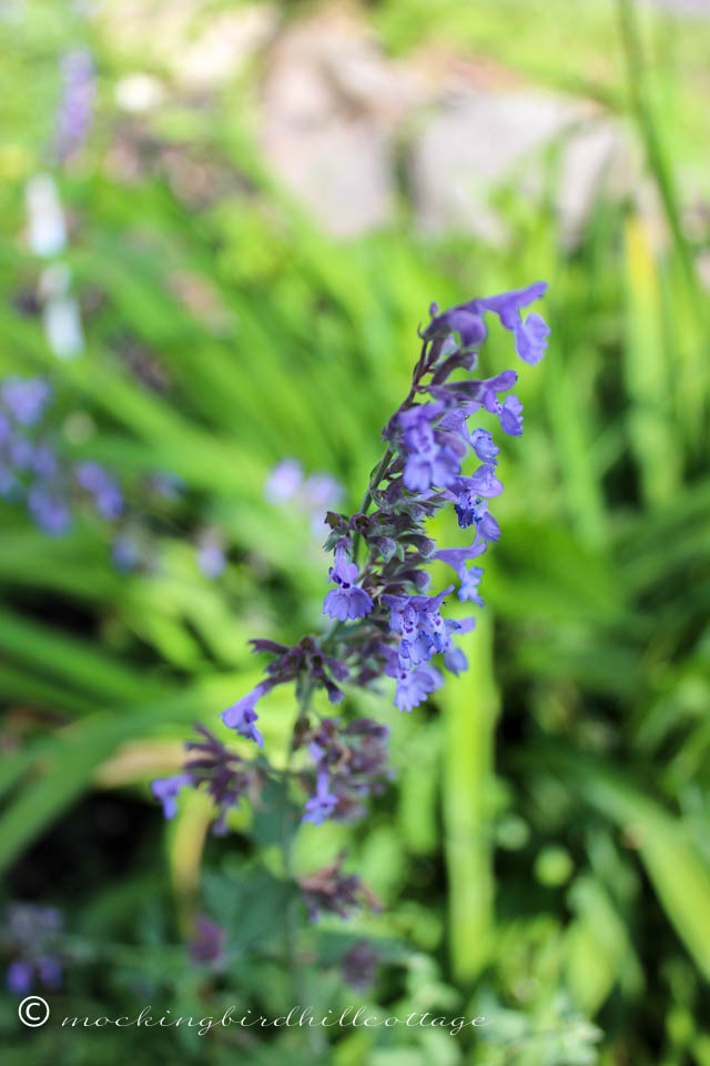 6-10 catmint