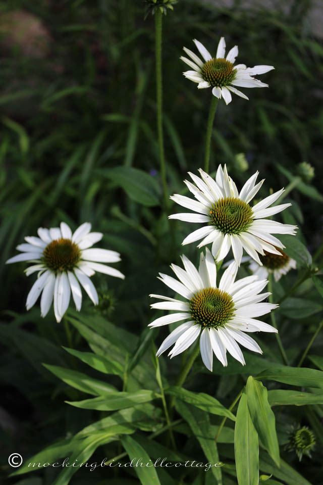 7-17 white coneflowers