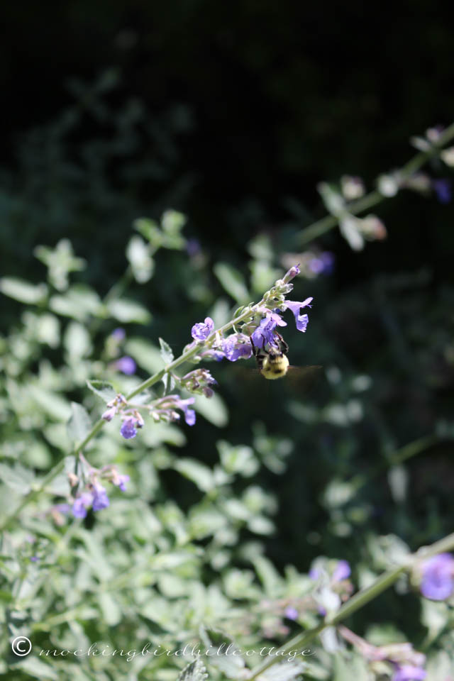 7-25 bee on catmint