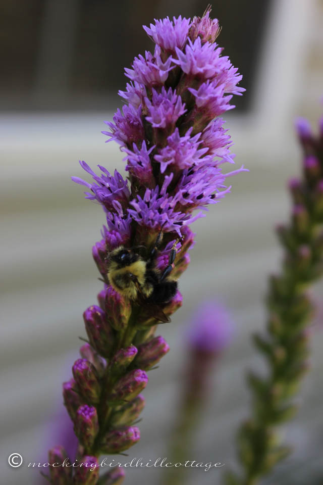 7-25 bee on liatris