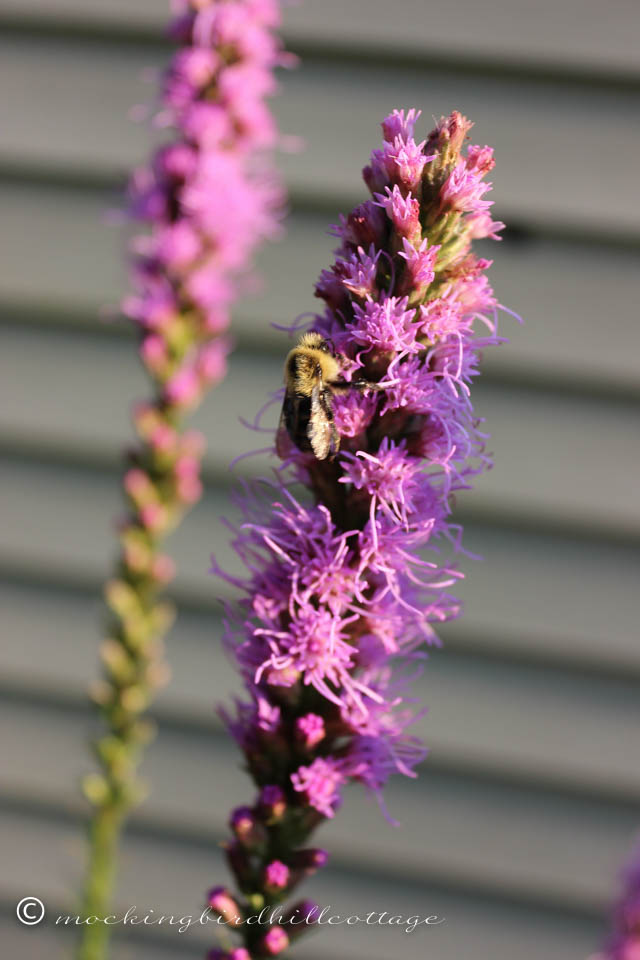 7-30 bee on liatris
