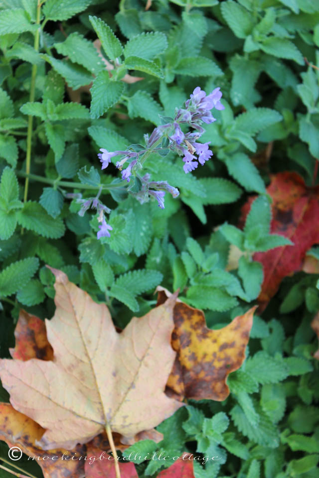 10-10 catmint