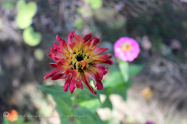 10-7 zinnia with web