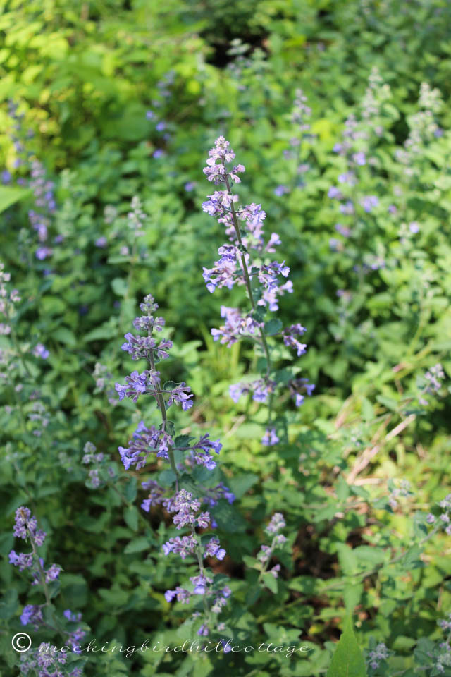 5-29 catmint