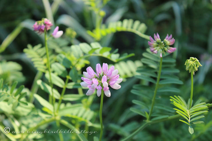 6-18 crownvetch2