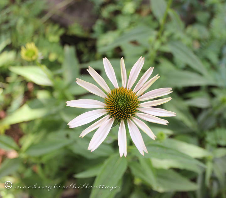 7-17 whiteconeflower