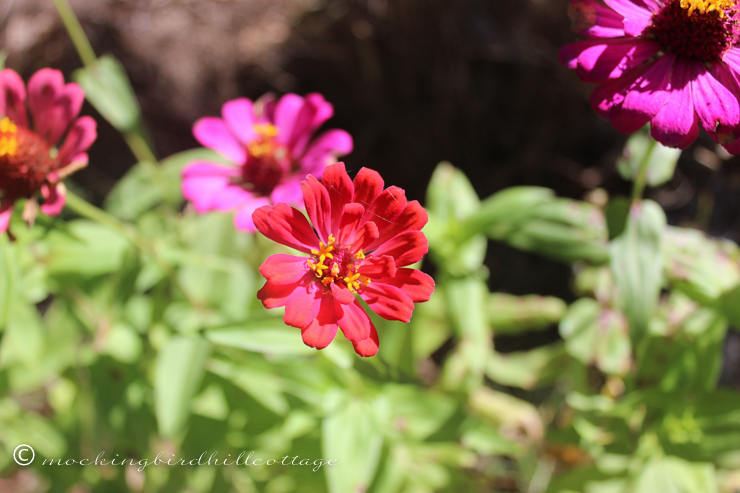 9-27-newzinnia1