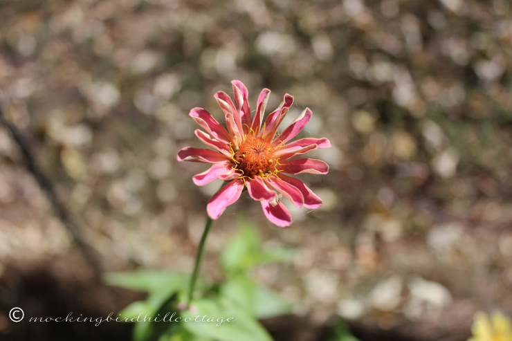9-27-newzinnia2