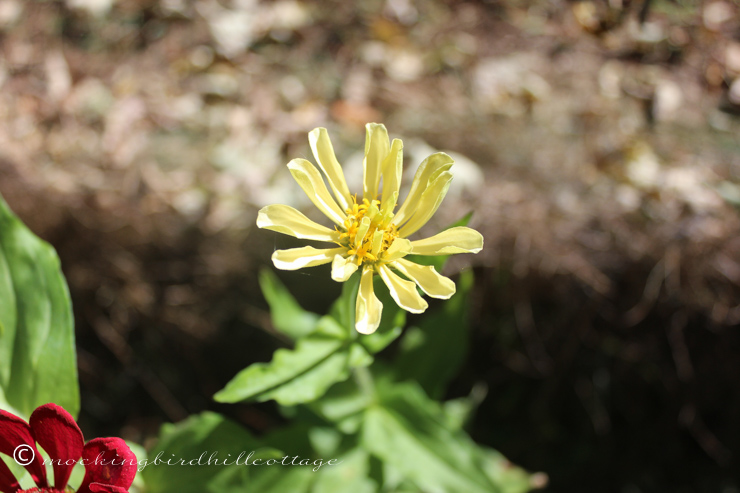 9-27-newzinnia3