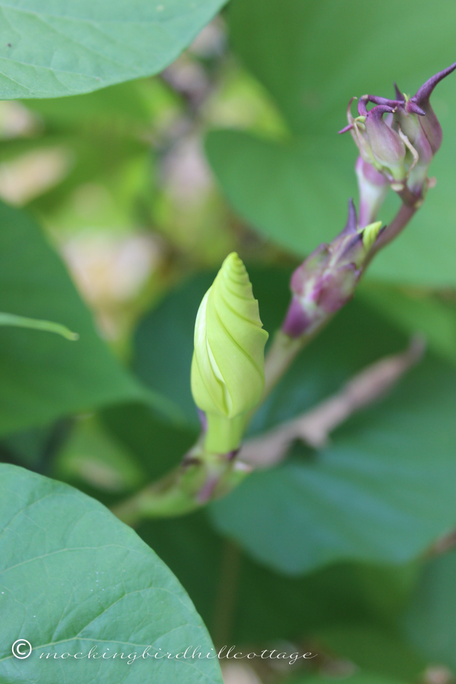10-2-moonflowerbuds