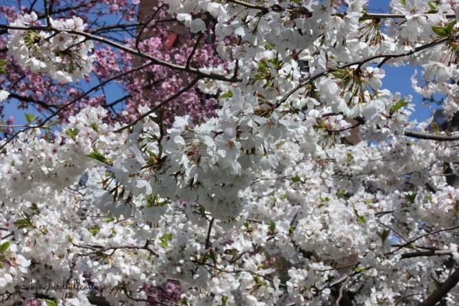 bushnellwhiteblossoms