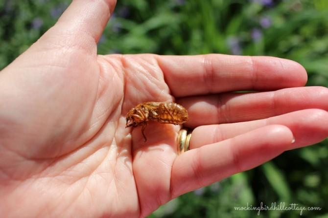 cicadaonhand