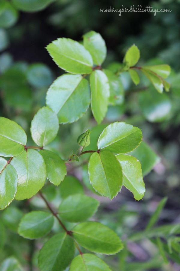 gardenrosebud2