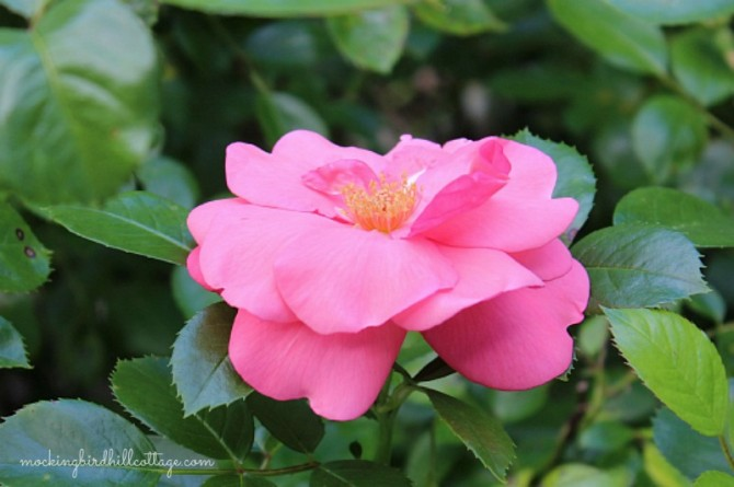 Thurs-rose