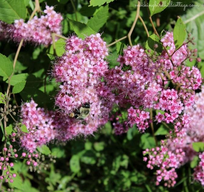 bumblebeespirea
