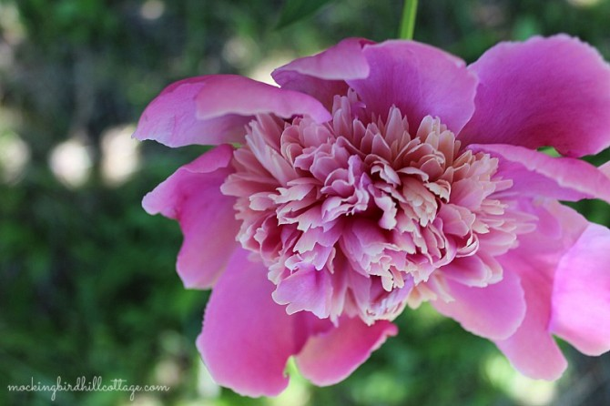 peonypinkness