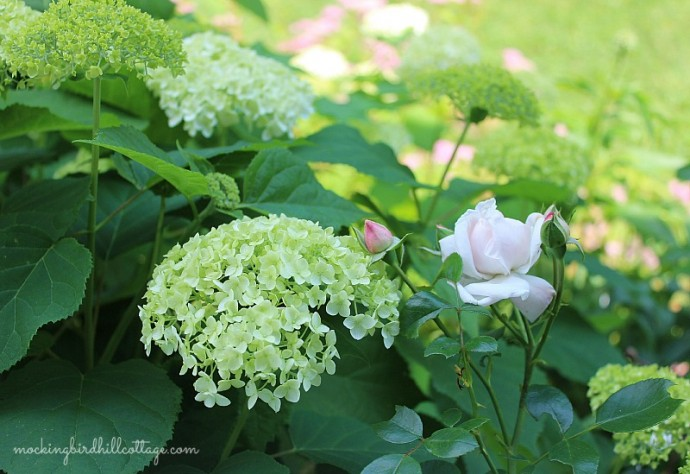 rosehydrangea