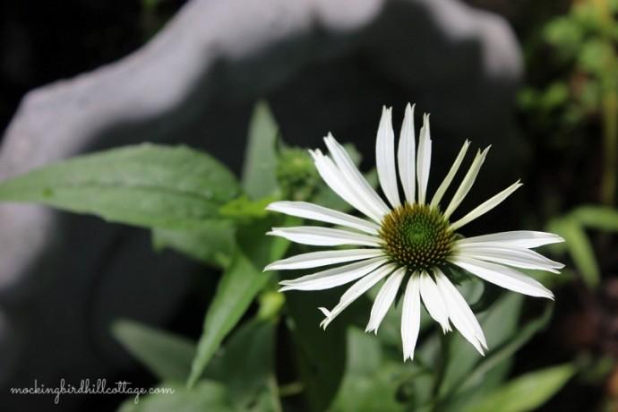 whiteconeflower