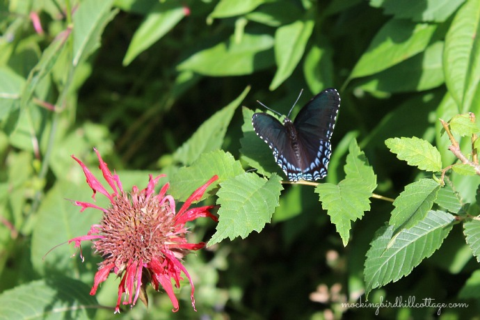 Red-Spotted Purple1