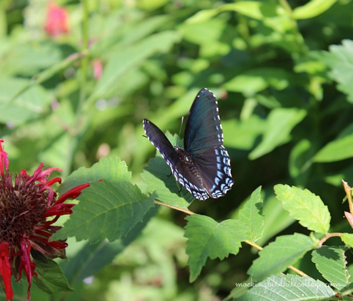 Red-Spotted Purple2