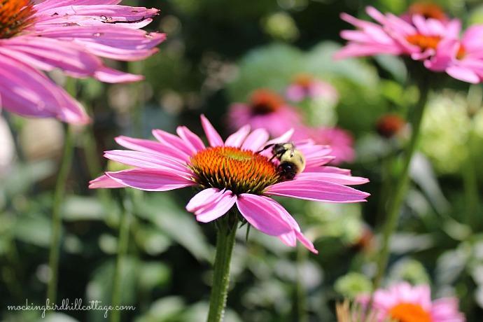 beeonpurpleconeflower