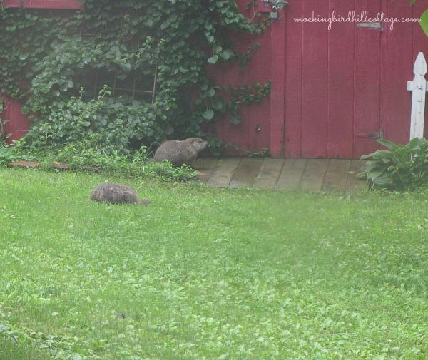 mygroundhogs