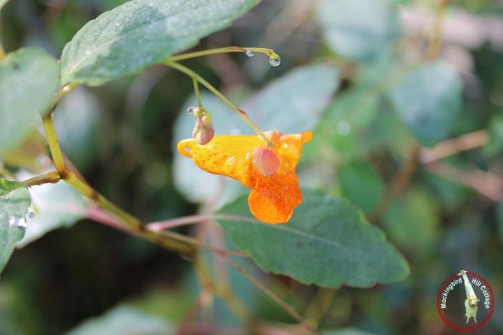 orangeweed2