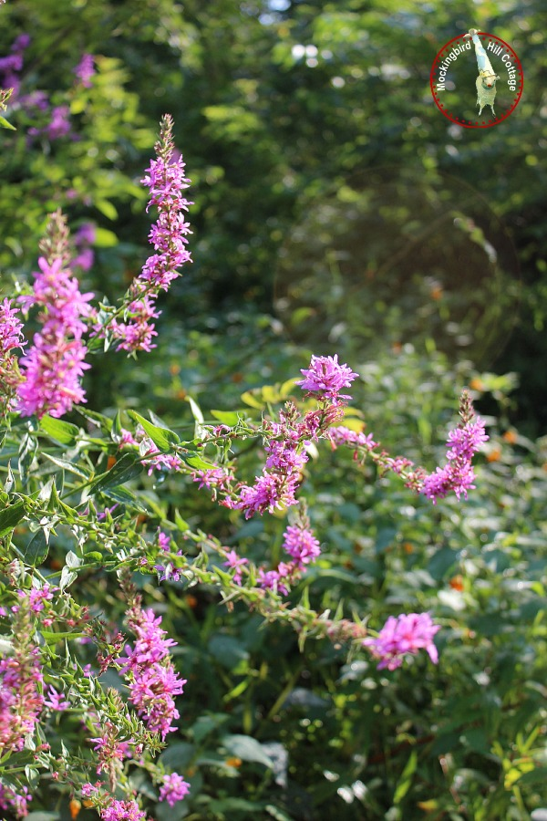 purpleweed2