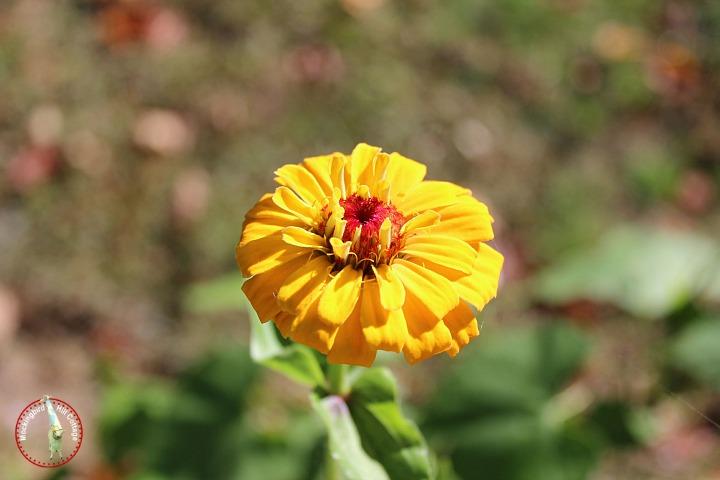 yellowzinnia